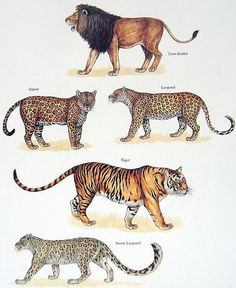 "Big Cats Poster (5 - includes the ""Big Cats"" + the Snow Leopard.   (""Kingdom of the Cats."")"