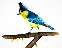 "Check out new work on my @Behance portfolio: ""Pájaro azul y amarillo. 30 x 40 cm. Acuarela."" http://be.net/gallery/50940647/Pajaro-azul-y-amarillo-30-x-40-cm-Acuarela"