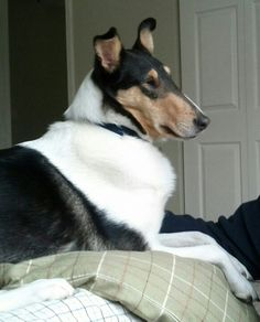 My smooth collie :)