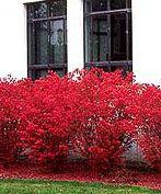 plants that grow under black walnut tree. burning bush.