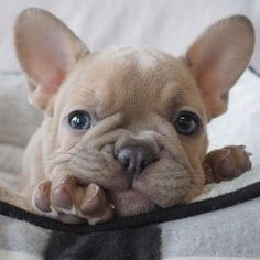 More About The Playful French Bulldog Pup Temperament