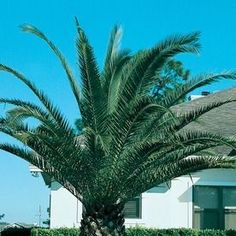 19.09-Gallon Canary Island Date Palm Feature Tree (L7541) 459765