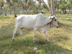 Koe uit thailand ,super mager.