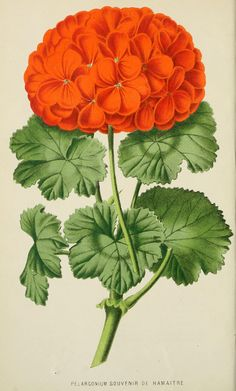 pelargonium - high resolution image from old book.Size in pixels: Vintage Botanical Prints, Botanical Art, Botanical Illustration, Vintage Art, Flower Images, Flower Art, Craft Flowers, Pictures To Paint, Art Pictures