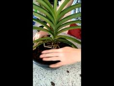 Plantando orquidea Vanda no substrato - YouTube