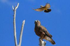 Kingbird vs. Hawk II by Paul Marto on 500px