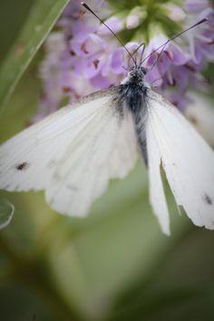 Farfalla - ( Italy )