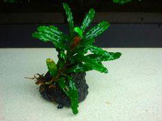 Green velvet -15