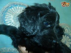 Bernese mountain dog cross standard poodle | Clacton On Sea, Essex | Pets4Homes