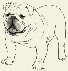 How to draw Bulldog. Learn to draw an English Bulldog step by step images along with easy to follow instruction. Here is another dog family creatures though its body aren't quit the same as a typical dog. In this tutorial, we will draw a Bulldog and its entire body structure. The English Bulldog is a …