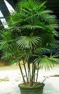 jade_empress_palm1.jpg