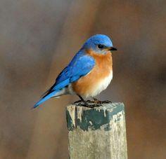 Bluebirds Quotes. QuotesGram