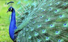 170 peacocks killed due to contagious disease in Pakistan - Automated News