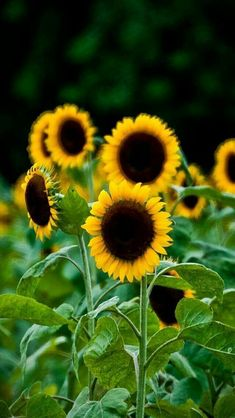Sunflower fields are my favorite Sunflower Fields, Yellow Sunflower, Sunflower Garden, Sunflower Photography, Nature Photography, Happy Flowers, Beautiful Flowers, Sun Flowers, Sunflowers And Daisies