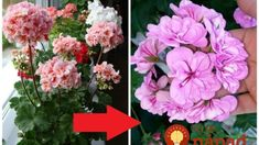 Konečne sme našli najlepšie hnojivo na muškáty: Po tomto zázraku kvitnú od jari až do neskorej jesene – ako na baterky! Floral Wreath, Wreaths, Garden, Decor, Floral Crown, Garten, Decoration, Door Wreaths, Lawn And Garden