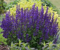 Salvia 'Violet Riot'. Site also includes 2015 Perennials