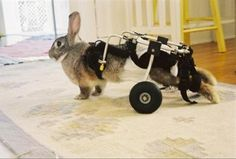 A pet rabbit with a disability .          Cats & Rabbits & More - Adoptions ~ Education ~ Pet Products - Bunny Cart Tips