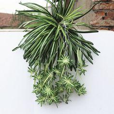Barato Flor Artificial Bracketplant Orquídeas Chlorophytum de Plástico Plantas…