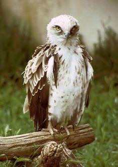 Aguila culebrera:migratoria, viene desde África y es también blanca por abajo con la parte de la cabeza en marrón.