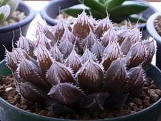 Haworthia cooperi var.pilifera.jpg