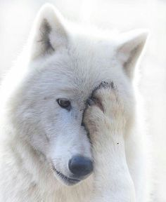 569 Best Wolves images in 2018   Wolves, Wolf pictures