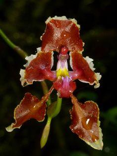 Cyrtochilum geniculatum - Flickr - Photo Sharing!