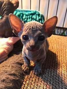 Cute Overload: Internet`s best cute dogs and cute cats are here. Aww pics and adorable animals. Cute Little Animals, Cute Funny Animals, Cute Cats, Funny Cats, Pretty Cats, Beautiful Cats, Animals Beautiful, Baby Cats, Cats And Kittens