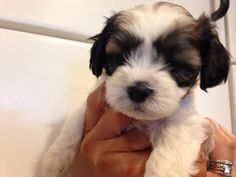 Male Mal-Shi Puppy for sale in Michigan  5 weeks old, born 6-18-14 Mom 9 lb Shih-Tzu  Dad 4.5 lb Maltese $400 231-357-1181 Pets For Sale, Puppies For Sale, Maltese, Shih Tzu, Animals And Pets, Michigan, Dads, Mom, Pets