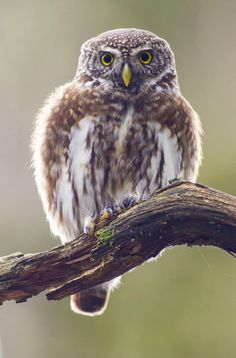 eurasian pygmy owl by Dennis Stronks on 500px