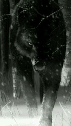 genlerine kadar tabiatta ya ayan kurt zor olmayan g n var m yd Wallpaper Lobos, Wolf Wallpaper, Storm Wallpaper, Wolf Tattoos, Beautiful Wolves, Animals Beautiful, Beautiful Smile, Beautiful Pictures, Angry Wolf