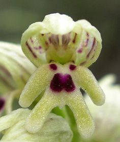 Orchis galilaea   Orchid flower that looks like a little man with a big head.