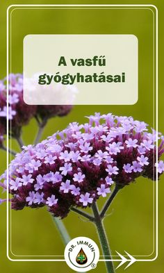 Verbena, Doterra, Natural Remedies, Medicine, Health Fitness, Herbs, Pictures, Herb, Natural Home Remedies