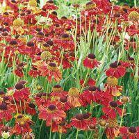 HELENIUM HYBRIDE MOERHEIM BEAUTY - 3 ST. (Vaste planten en tuinkruiden > Vaste planten)