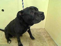 Manhattan Center   JEAN - A1031412  FEMALE, BLACK / WHITE, PIT BULL / CHINESE SHARPEI, 6 yrs STRAY - STRAY WAIT, HOLD FOR ID Reason STRAY Intake condition UNSPECIFIE Intake Date 03/26/2015 https://www.facebook.com/photo.php?fbid=984461094900103 ++++low key, calm and easy and looking for a person or family to take care of.++++