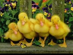 When the ducklings would get into the liquor they thought they were a vaudeville act....