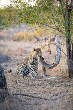 Life in the wild isn't as easy going though, as this python in Sabi Sands, South Africa, found out when a leopard pulled it…