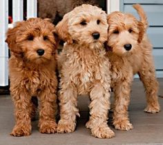 Must see Labradoodle Anime Adorable Dog - e91d5fb089eb30e35c6990efcd5c5f66--australian-labradoodle-puppies-mini-goldendoodle  Image_551695  .jpg