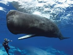 The scientific name of the sperm whale or cachalot is Physeter macrocephalus. Big Whale, Sea World, Underwater Photography, Nature Photography, Ocean Life, Marine Life, Sea Creatures, Belle Photo, Dolphins