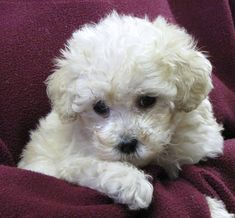 puppies | ... White Poodle Puppy Pictures | All Puppies Pictures and Wallpapers