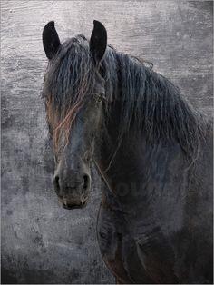 Friesen- Pferd