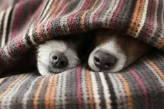 Jack russells under the covers