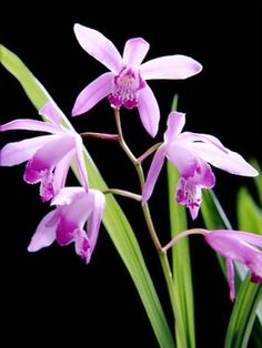 Bletilla Striata are commonly grown as indoor plants due to the survivability of the plant
