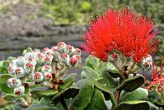 Lehua - read about the legend by Glo Hawaiian Legends, Warrior Names, Twisted Tree, Flower Close Up, Volcano National Park, Big Island, Native Plants, Nature Photos, Mother Nature