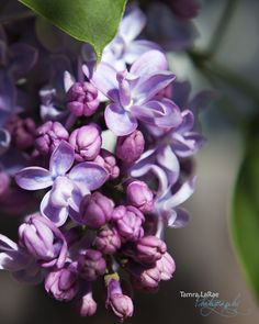 Spring Lilac's