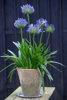 Evergreen and deciduous varieties available. Evergreen will keep some colour in your garden. Full sun but like to be shielded from the wind where possible Container Flowers, Flower Planters, Container Plants, Container Gardening, Flower Pots, Agapanthus In Pots, Allium Flowers, Planting Flowers, Window Boxes