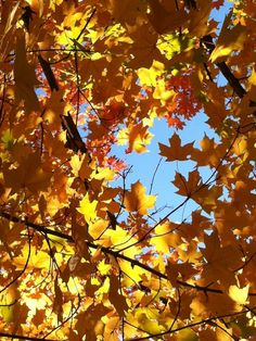 maples on the mountain