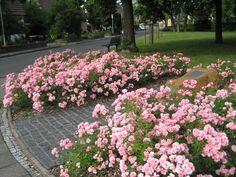 a carpet of Roses