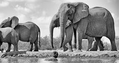 Photographer and African wildlife specialist, Greg du Toit, offers the very best private and small group safaris in Africa, for the discerning photographer. Lion Art, Wildlife Photography, Safari, Fine Art Prints, Elephant, African, The Incredibles, Gallery, Animals