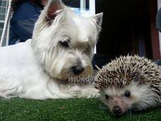 Fotos del West Highland White Terrier