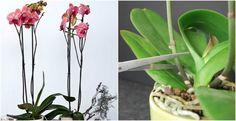 Una vez las flores de tus orquídeas acaban su ciclo vital se les puede cortar las varas florales para que vuelvan a florecer. Hay partidarios y detractores de esta técnica así que tú mismo. Simplemente vamos a decirte cómo has de hacerlo si te decantas por la opción del corte. El final de la floración nos indica el